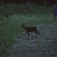 Athina Sporting Muntjac Video