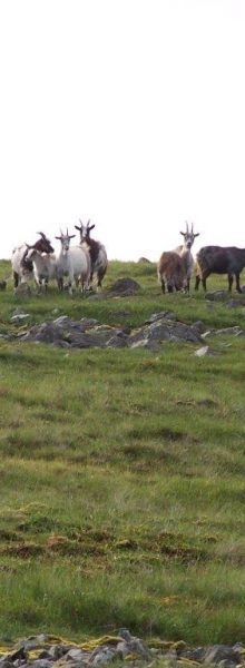 Scottish Wild Goats