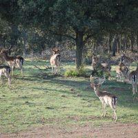 Fallow Deer Portugal